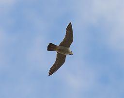 Nu flyger vi igen! Foto: Stefan Berndtsson, www.commons.wikimedia.org